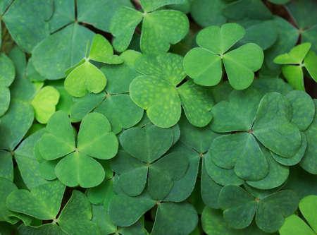 Clover background. Green background with three-leaved shamrocks. St.Patricks day holiday symbol.