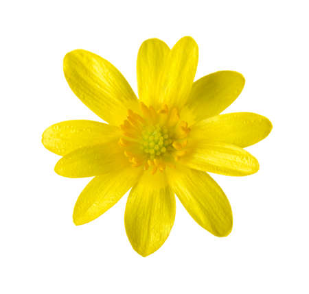 Yellow flower (Caltha palustris) isilated on white. Stock Photo