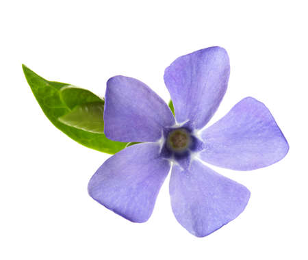 Periwinkle flower isolated on white background. Shallow depth of field