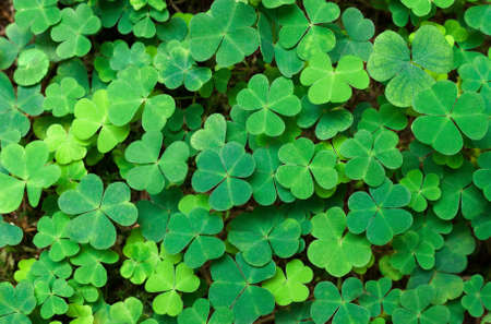 three leafed: Green background with three-leaved shamrocks. St.Patricks day holiday symbol.