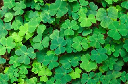 Green background with three-leaved shamrocks. St.Patrick's day holiday symbol. Archivio Fotografico