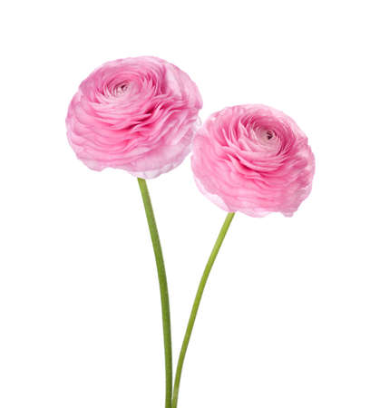 Two light pink persian buttercup flowers (Ranunculus ) isolated on white background.
