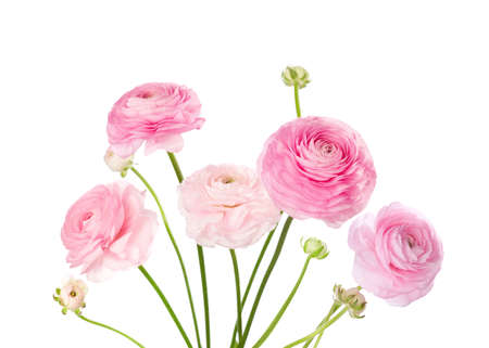 Light pink flowers isolated on white. Ranunculus Stock Photo