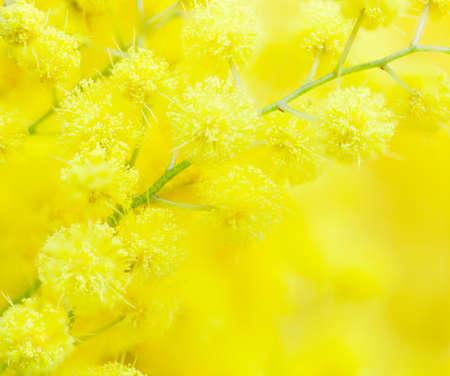 Gele mimosa bloem close-up. Zeer ondiepe scherptediepte