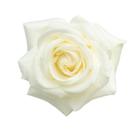 Witte roos geïsoleerd op een witte achtergrond. Stockfoto