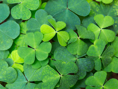 st  patty's: Green background with three-leaved shamrocks. St.Patricks day holiday symbol. selective focus Stock Photo