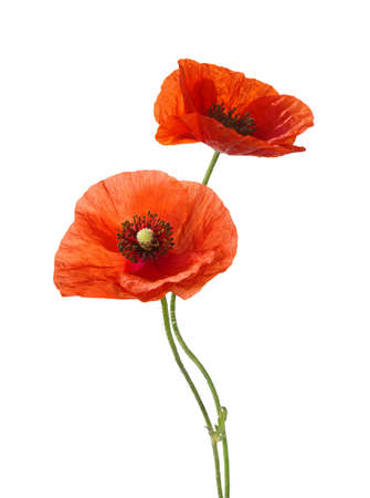 Two red poppies isolated on white