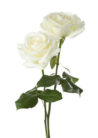 Twee witte rozen geïsoleerd op een witte achtergrond