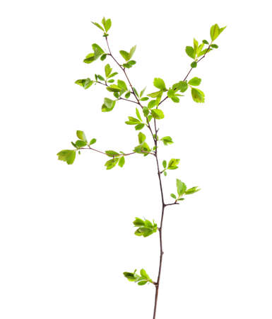 shrubbery: Branch with young green spring leaves isolated on white.
