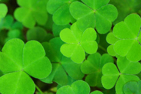 three leaved: green background with three-leaved shamrocks. St.Patricks day holiday symbol. Shallow depth of field, focus on central  leaf.