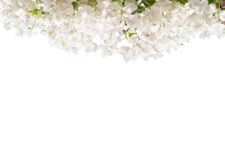 White blooming Bougainvillea  isolated on white background. Stockfoto