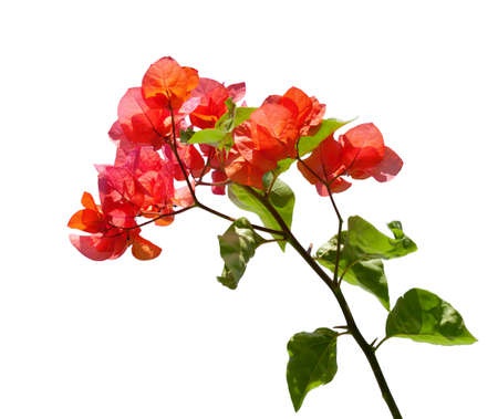 Blooming red  Bougainvillea  isolated on white background