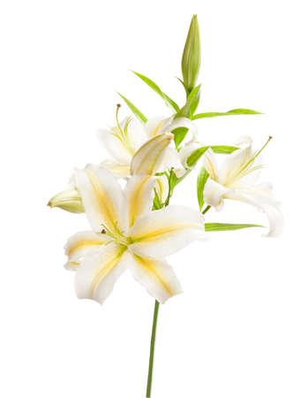 White lily isolated on white background Stock Photo