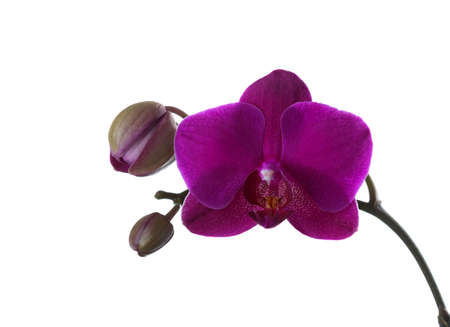 Vinous orchid isolated on white.
