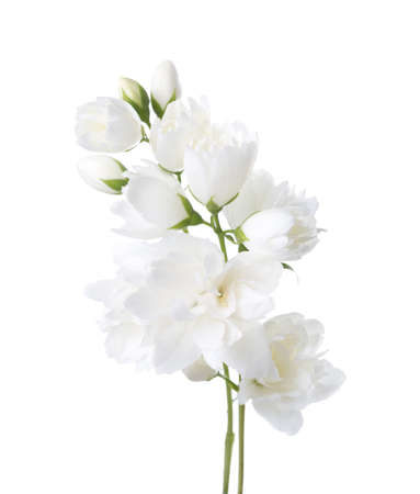 philadelphus: Jasmines(Philadelphus) flowers isolated on white background. Stock Photo