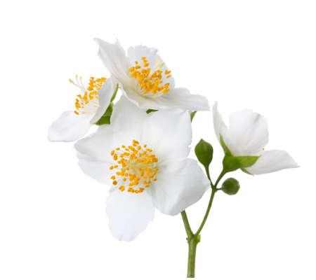 Jasmine (Philadelphus) Blumen isoliert auf weißem Hintergrund.