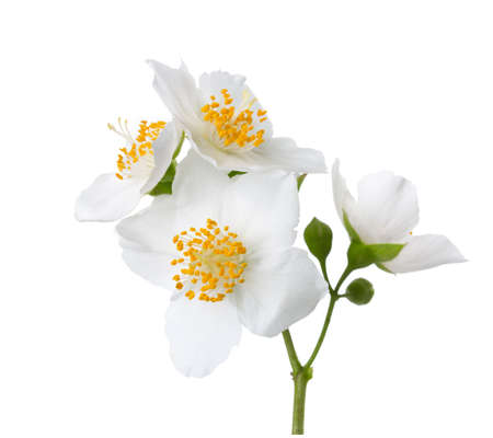 philadelphus: Jasmines (Philadelphus) flowers isolated on white background. Stock Photo