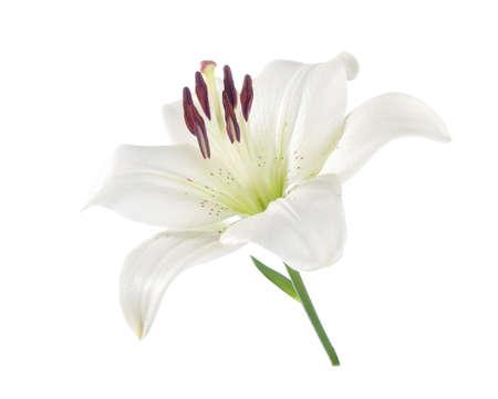 flor de lis: Lirio blanco aislado en un fondo blanco. Foto de archivo