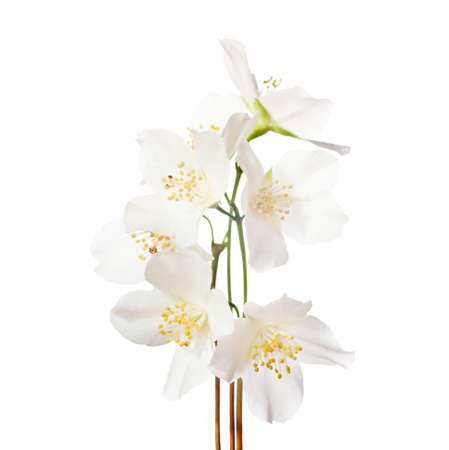 philadelphus: Jasmines  flowers isolated on white background. Stock Photo