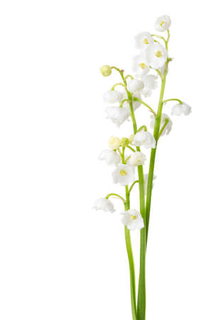 Three sprigs of Lily of the Valley isolated on white background.  Stock Photo