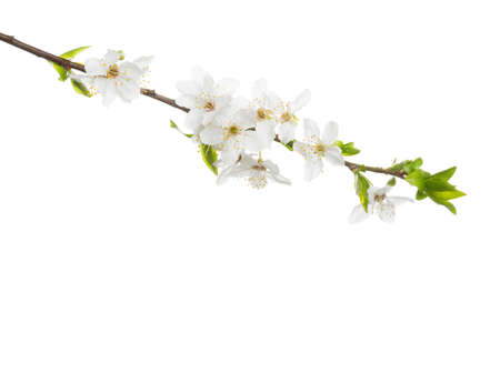 Branch in blossom isolated on white background. Cherry plum