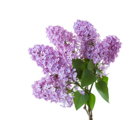 Spring lilac  branches with leaves isolated on white background. Stock Photo