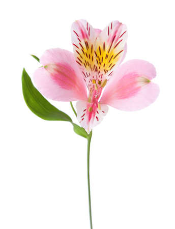 Pink flower of alstroemeria  isolated on white background.