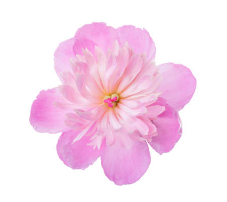 pale color: Pink peony  isolated on white background.
