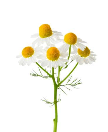 chamomilla: Chamomiles  isolated on white background.