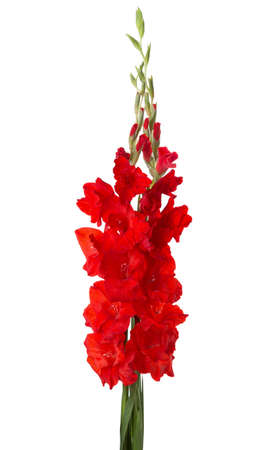 Two red gladioluses  isolated on white background