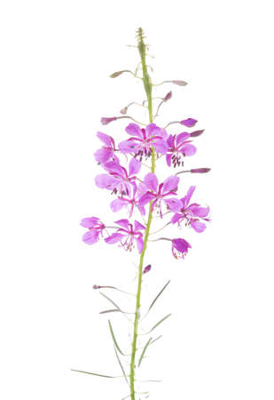 Pink flowers of fireweed isolated on white background. Chamaenerion angustifolium