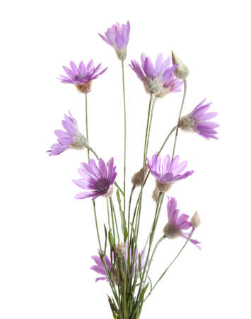 angustifolium: Bundle of    flowering plants  (Immortelle)  isolated on white background.   Xeranthemum annuum. Shallow depth of field. Selective focus