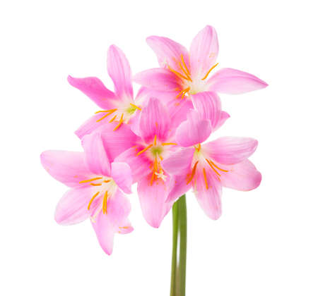 carinata: Five pink lilies isolated on a white background. Rosy Rain lily