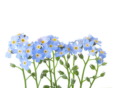 wildflowers: Forget-me-nots isolated on white background. Studio shot