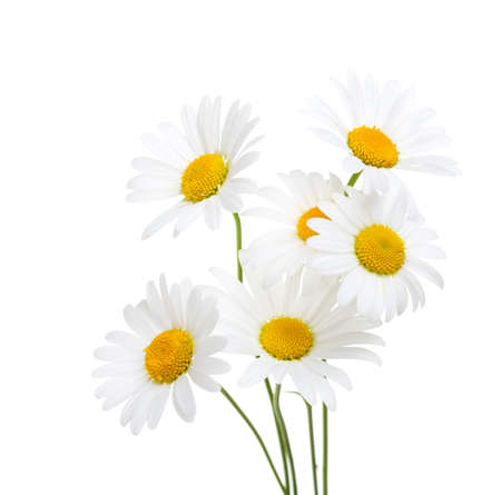 Bouquet  of Chamomiles  ( Ox-Eye Daisy ) isolated on a white background. Stock Photo