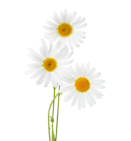buey: Three flowers of Chamomiles  ( Ox-Eye Daisy ) isolated on a white background