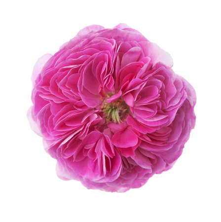 Pink rose isolated on white. Tea rose
