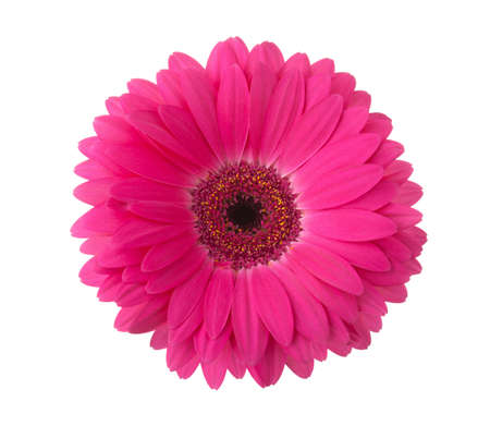 Pink gerbera flower isolated on white background. 版權商用圖片