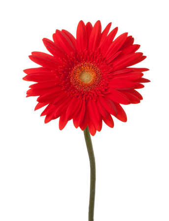 vermeil: Bright red gerbera flower isolated on white background.