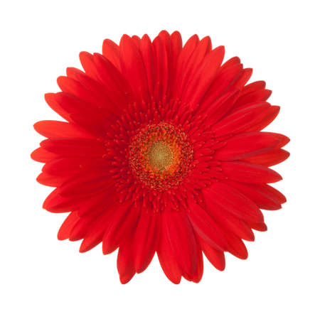 Bright red Gerbera flower isolated on white background. Stock Photo
