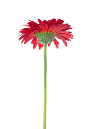 vermeil: Red Gerbera    isolated on white background. Stock Photo