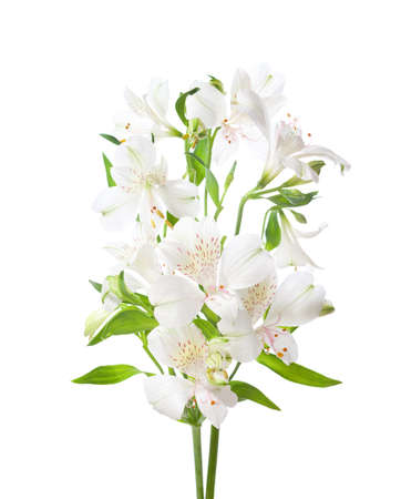 White flowers of Alstroemeria isolated on white background. Stock fotó