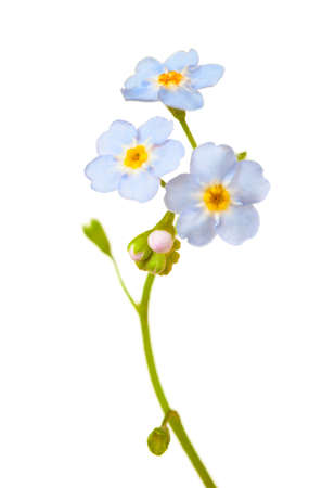Forget-me-nots isolated on white background.