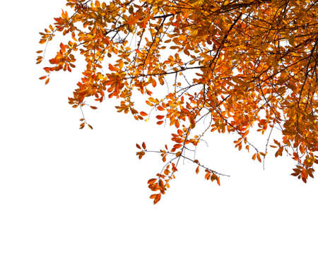 Branches with  colorful autumn leaves  isolated on white background.  Cherry plum Stock Photo