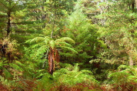 Temperate rain forest with fern trees, North Island, New Zealand. Imagens
