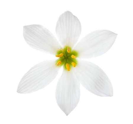 autumn colour: Close-up of white lily (autumn zephyrlily)  isolated on a white background. Zephyranthes candida