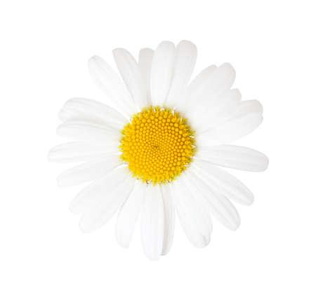 marguerite: Close-up of Chamomile (Ox-Eye Daisy ) isolated on white background.