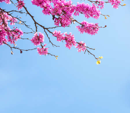 Branches with fresh pink flowers in the morning sunlight against the blue sky. Judas tree  Stock Photo