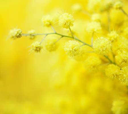 Il primo piano delle mimose ingiallisce i fiori della molla su fondo giallo defocused. Profondità di campo molto bassa. Messa a fuoco selettiva.