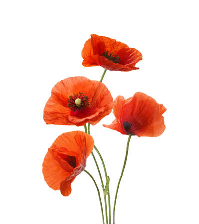 Four red poppies isolated on white background.